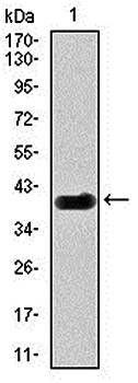 Western blot analysis of human (AA: 313-439) recombinant protein using DLL4 antibody