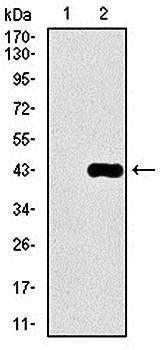 Western blot analysis using DLL4 HEK293 (1) and DLL4 (AA: 313-439)-hIgGFc transfected HEK293 (2) cell lysateDLL4 antibody