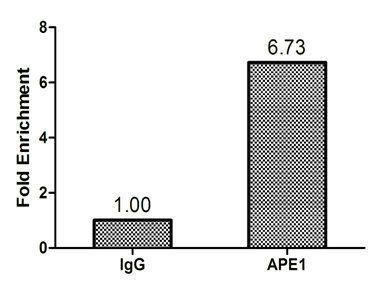 Immunoprecipitation analysis of using DNA-(apurinic or apyrimidinic site) lyase antibody