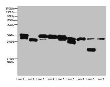 Western blot analysis of Hela whole cell(Lane 1), Mouse brain tissue(Lane 2), MCF-7(Lane 3), HepG2(Lane 4), Raji(Lane 5), A549(Lane 6), K562 whole cell lysate(Lane 7), Mouse liver tissue(Lane 8), NIH3T3(Lane 9) whole cell lysate using DNA-(apurinic or apy