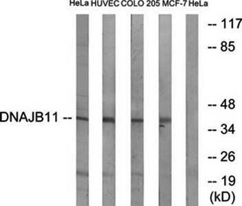 Western blot analysis of extracts from HeLa cells, HUVEC cells, COLO cells and MCF-7 cells using DNAJB11 antibody