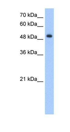 Western blot analysis of HepG2 cell lysate tissue using DNER antibody