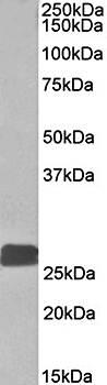 Western blot analysis of human heart lysate using DUSP6 antibody (35ug)