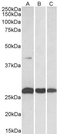 Western blot analysis of staining of Human (A), (Mouse) and Rat (C) Heart lysates  using DUSP6 antibody.
