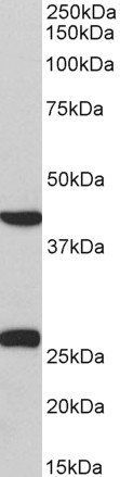 Western blot analysis of staining of Pig Heart lysate using DUSP6 antibody.