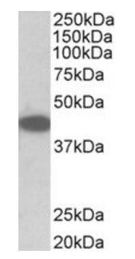 Western blot analysis of NIH3T3 lysate using Trib1 antibody