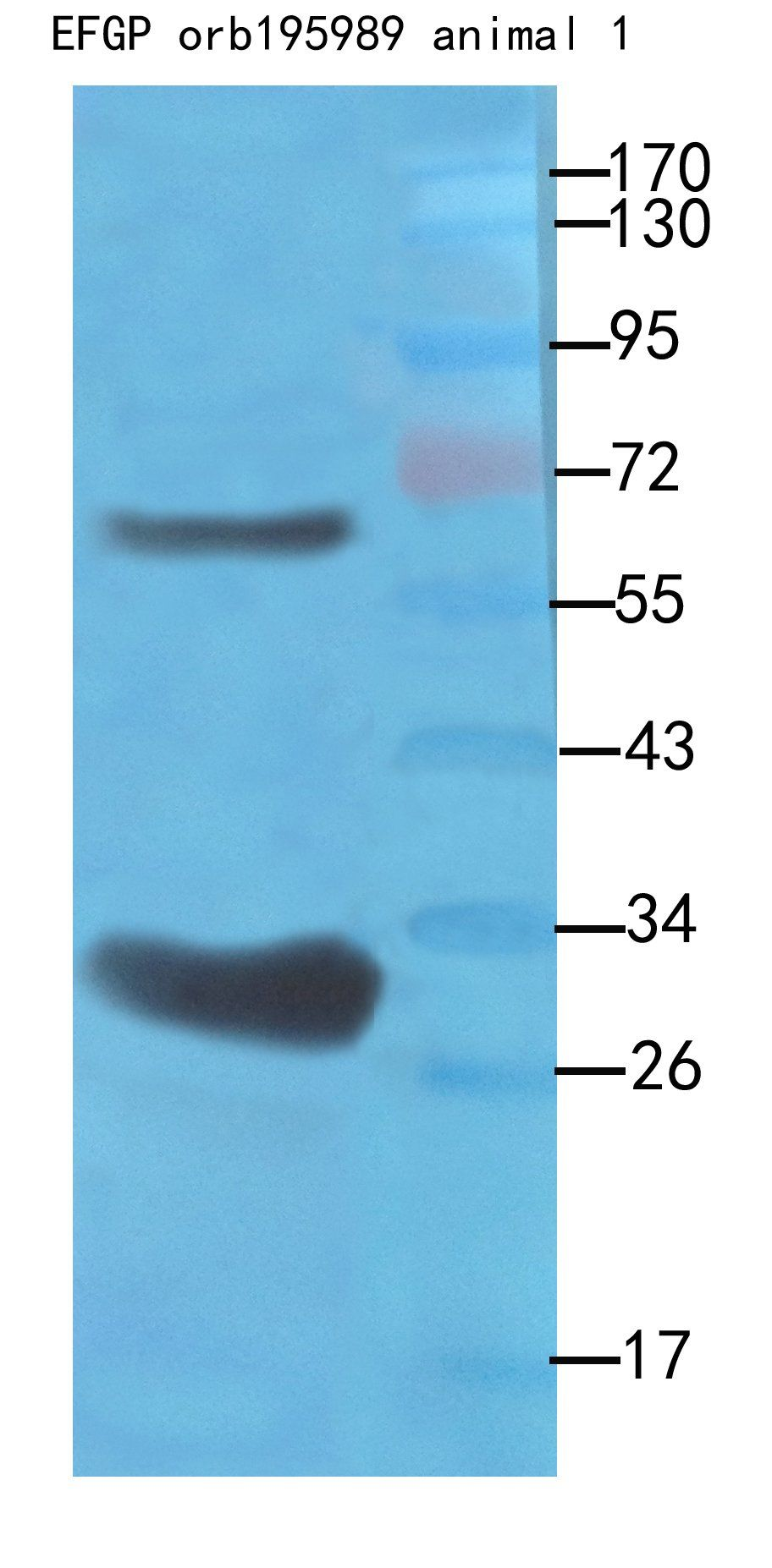 Western blot analysis of recombinant protein 100ng as lysate, use 1:500 dilution rate of using EGFP antibody