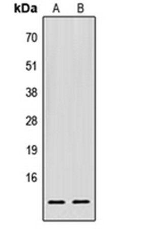 Western blot analysis of HEK293T (Lane1), Raw264.7 (Lane2) whole cell using EIF1 antibody