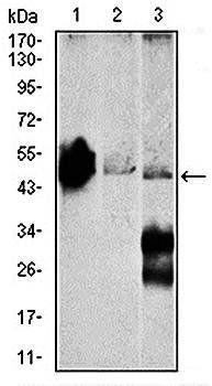 Western blot analysis of Mouse brain (Lane1), NIH3T3 (Lane2), and C6 (Lane3) cell lysate using ENO2 antibody