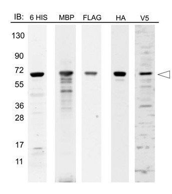 Western blot analysis of 12-Epitope Tag Protein Marker lysate using Epitope Tag Protein Marker Lysate
