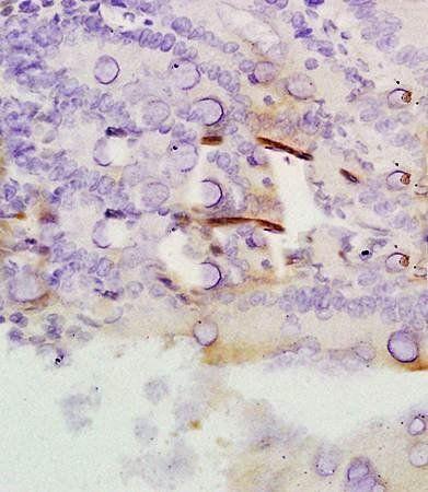 IHC-P of rat colon tissue (Rap1A antibody at 1:300)