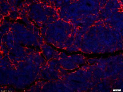 Immunohistochemical staining of Rat uterus tissue using ETL antibody.