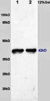 Western blot analysis of rat skeletal muscle lysates dilution at:1:200 using F-Actin antibody