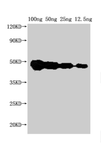 Western blot analysis of Recombinant protein using FEN1 antibody