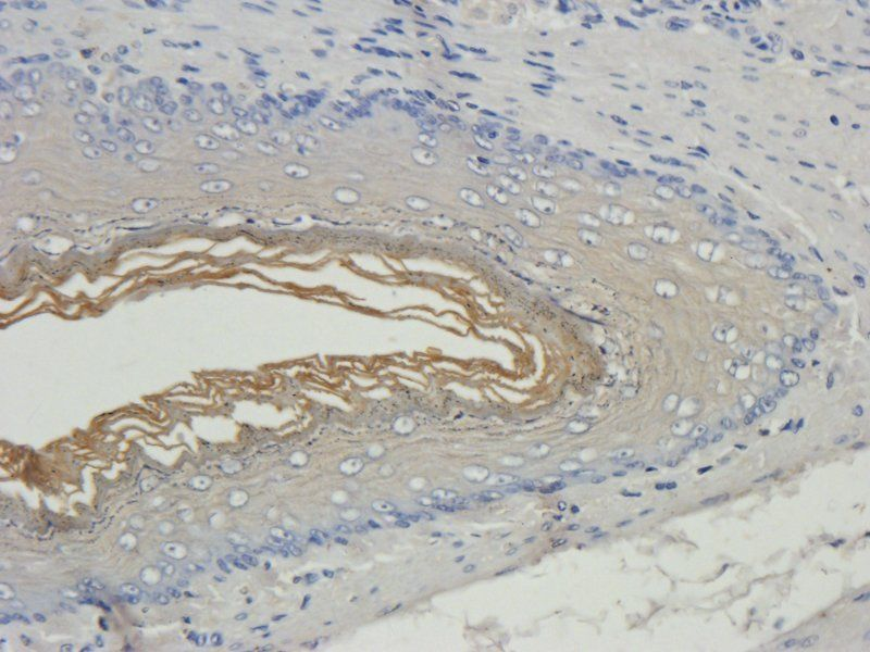 IHC-P image of rat stomach tissue using anti-Filaggrin (2.5 ug/ml)
