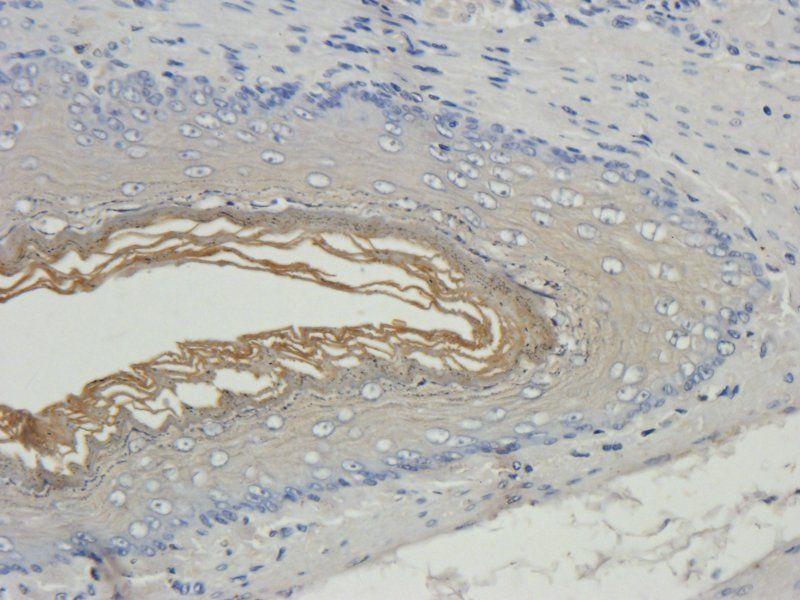 IHC-P image of rat stomach tissue using anti-Filaggrin (2.5 ug/ml)
