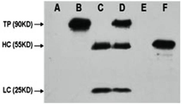 Western blot analysis of HEK 293 cell lysate using FLAG Tag antibody. Flag-Tag Mouse Monoclonal antibody A: HEK 293 cell lysate without transfected B: HEK 293 cell lysate transfected with FLAG-tag protein C: IP (PBS + anti- FLAG mAb 4℃ overnight) D: IP (H