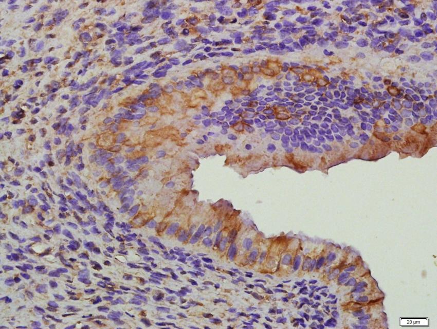 Immunohistochemical staining of paraffin embedded rat ovary tissue using FSH receptor antibody