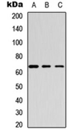 Western blot analysis of HeLa (Lane1), mouse brain (Lane2), rat brain (Lane3) whole cell using GABRB1 (phospho-S434) antibody