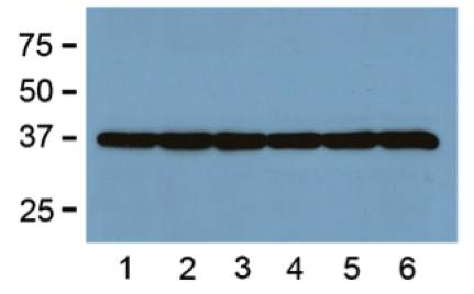 Western blot analysis of liver tissue lysates using GAPDH antibody