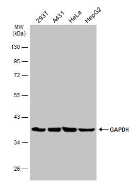Western blot analysis of Various whole cell using GAPDH antibody