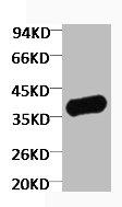 Western blot analysis of Zebrafish skeletal muscle using GAPDH antibody