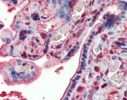 Immunohistochemical staining of paraffin embedded human placenta tissue using GAPDH antibody (primary antibody at 1:200)