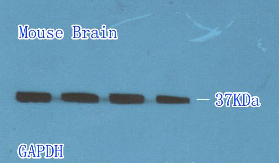 Mouse brain lysate shows GAPDH expression (1:500)