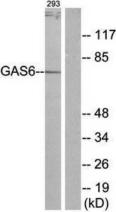 Western blot analysis of extracts from 293 cells using GAS6 antibody