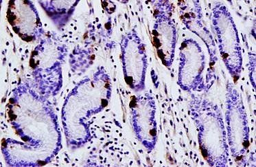 Immunohistochemical analysis of paraffin embedded human gastric tissue using Gastrin antibody