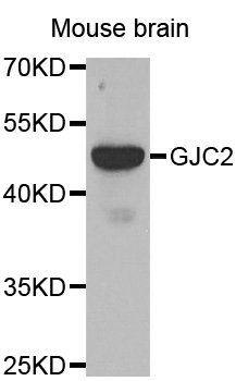Western blot analysis of mouse brain tissue using GJC2 antibody