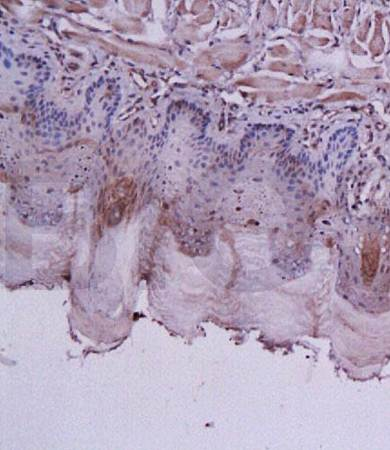 Immunohistochemical analysis of formalin fixed and paraffin embedded rat tongue tissue using GLP1 antibody