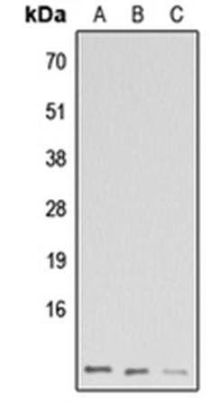 Western blot analysis of HeLa (Lane1), Raw264.7 (Lane2), H9C2 (Lane3) whole cell using GNG13 antibody