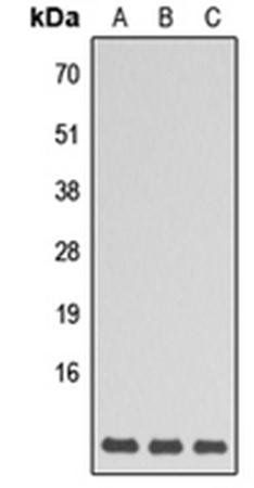 Western blot analysis of HEK293T (Lane1), Raw264.7 (Lane2), H9C2 (Lane3) whole cell using GNG5 antibody