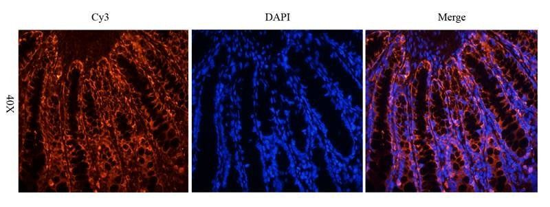IF analysis of rat colon tissue using anti-Gremlin 1 (dilution of primary antibody at 2.5 ug/ml)