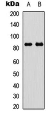 Western blot analysis of HeLa insulin-treated (Lane1), NIH3T3 insulin-treated (Lane2) whole cell using GYS1 (phospho-S645) antibody