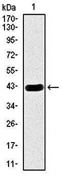 Western blot analysis of human (AA: 29-181) recombinant protein using HEXA antibody