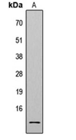 Western blot analysis of HeLa TSA-treated (Lane1) whole cell using Histone H4 (AcK8) antibody