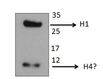 Histone H1 antibody worked well on rat cell extracts and detected a single band of expected size for histone H1 at ~30KDa. Also detected a smaller species of 10-12KDa, perhaps histone H4.