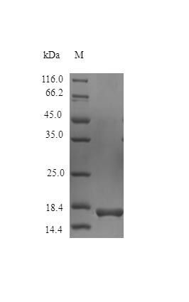 SDS-PAGE analysis of Horse IL1RA protein (Active)