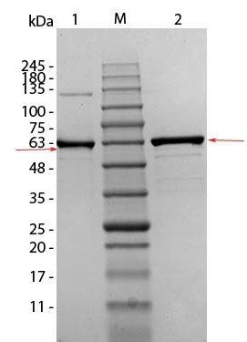 Western blot analysis of Human Recombinant Protein. AKT1 (S473A, T308A) unreduced (Lane1), prestained MW markers (Lane2), AKT1 (S473A, T308A), reduced. Load: 1 ug per lane (Lane3) using Human AKT1 mutant (phospho-T308A) protein