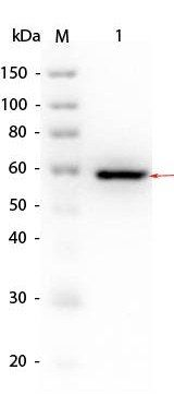 Western blot analysis of Human Recombinant Protein (Lane1), SuperSignal MW markers. AKT1. Load: 50 ng per lane (Lane2) using Human AKT1 mutant (phospho-T308A) protein