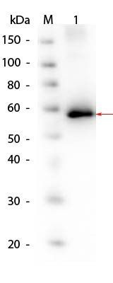 Western blot analysis of Human Recombinant Protein SuperSignal MW markers (Lane1), AKT1. Load: 50 ng per lane (Lane2) using Human AKT1 protein