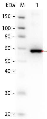 Western blot analysis of SuperSignal MW markers (Lane1), Load: 50 ng per lane (Lane2) using Human AKT3 (phosphatase treated) protein