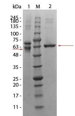 Western blot analysis of Human Recombinant Protein using Human AKT3 protein