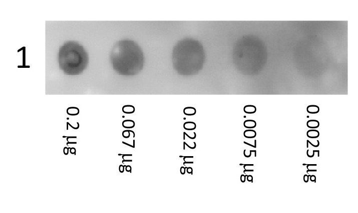 Dot Blot analysis of Human Albumin tissue using Human Albumin Conjugated protein (Biotin)