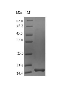 SDS-PAGE analysis of Human PTN protein (Active)