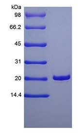 SDS-PAGE analysis of Human Keratinocyte Growth Factor protein