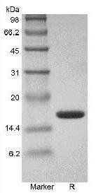 SDS-PAGE analysis of Human TNF alpha protein