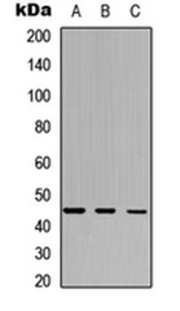 Western blot analysis of HepG2 (Lane1), Raw264.7 (Lane2), PC12 (Lane3) whole cell using IDO2 antibody